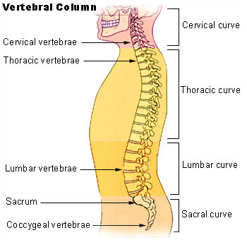 spinal column showing lumbar curve