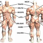 All muscle groups at a glance